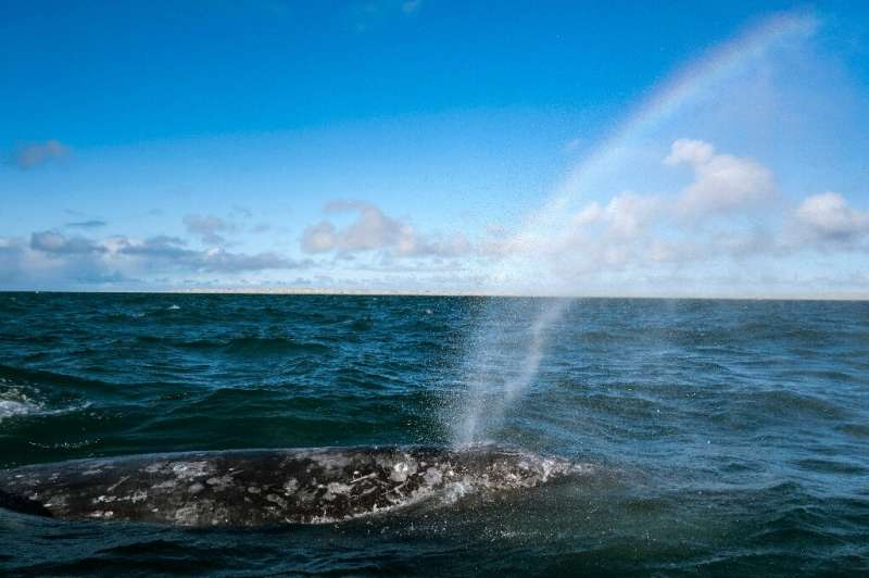 Researches hope to be able to gauge the impact of the whale watching industry