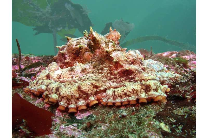 Resilience to climate change? New study finds octopuses adapting to higher ocean acid levels