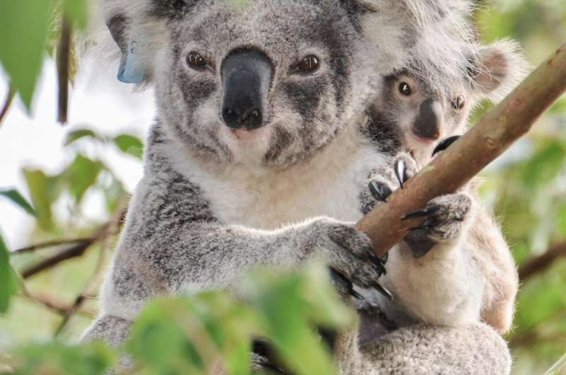 Retroviruses are re-writing the koala genome and causing cancer