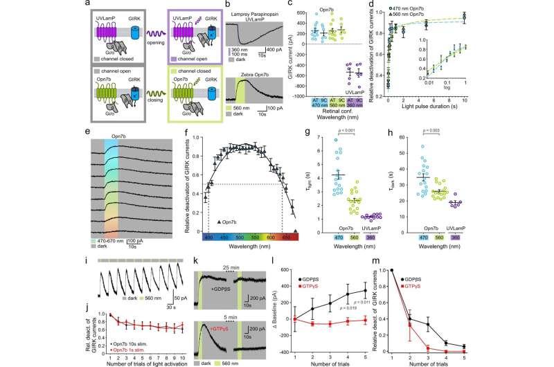 Reverse optogenetic tool developed
