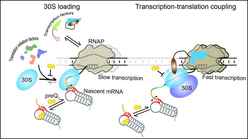 RNA holds the reins in bacteria: U-M researchers observe RNA controlling protein synthesis