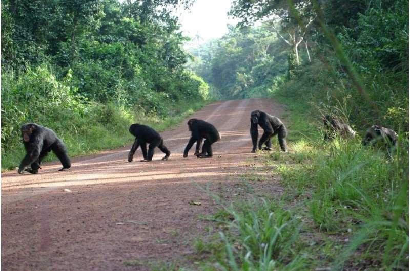 Roads have far-reaching impact on chimpanzees