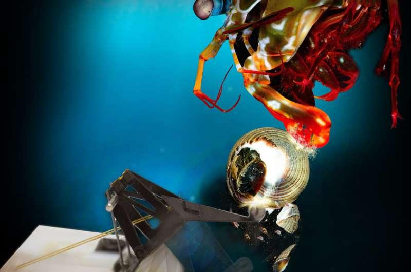 Le robot imite le puissant coup de poing de la crevette mante
