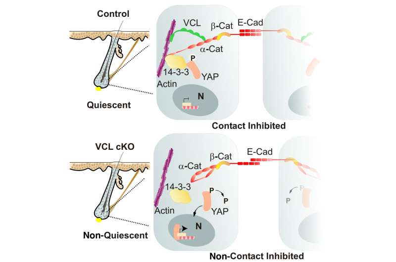 Robust cell junctions are critical for maintaining stem cell function