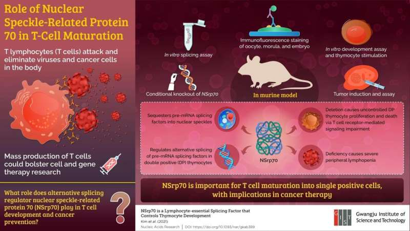 Role of subnuclear NSrp70 in immunity-studied at Gwangju Institute of Science & Technology