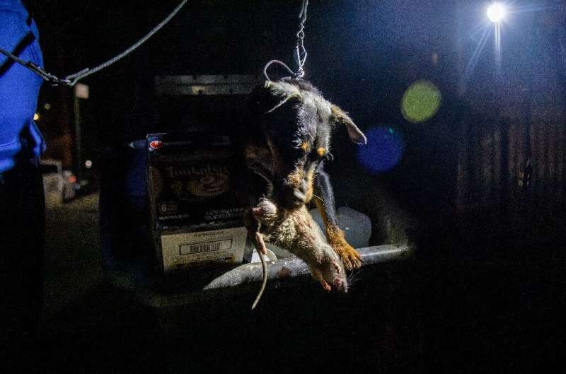 Rommel the Jagdterrier holds a dead rat in his mouth after hunting it in a dumpster in lower Manhattan on May 14, 2021