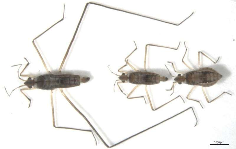 Same gene drives male water striders' long legs and the inclination to use them as weapons