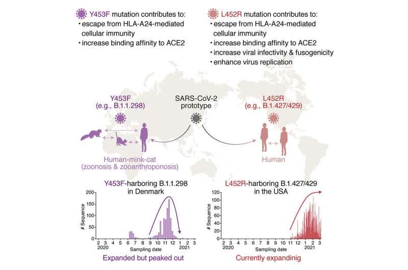 SARS-CoV-2 spike mutation L452R evades human immune response and enhances infectivity