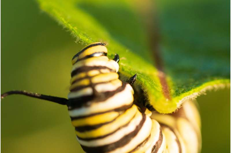 Saving the eastern monarch butterfly: SFU research