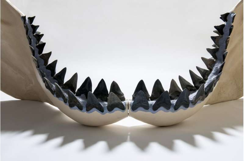 School lesson gone wrong leads to new, bigger megalodon size estimate