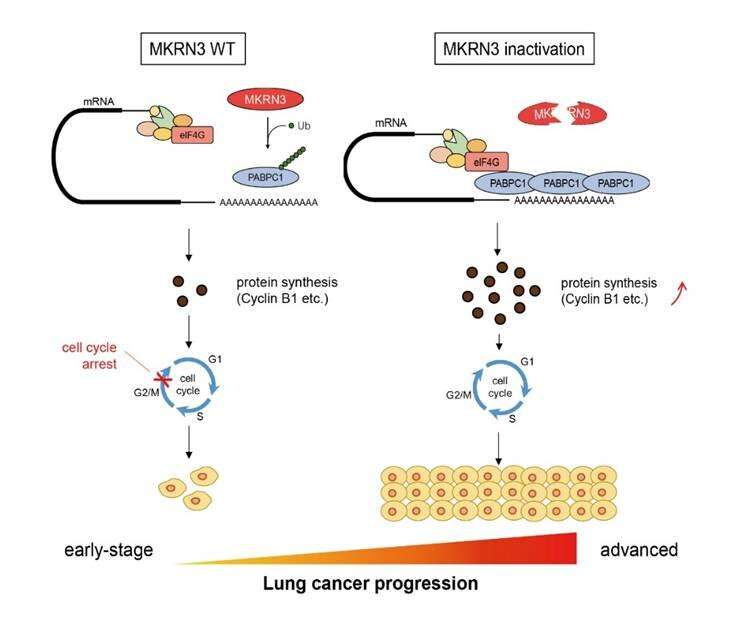 Scientists discover novel oncogenic driver gene in human lung cancer