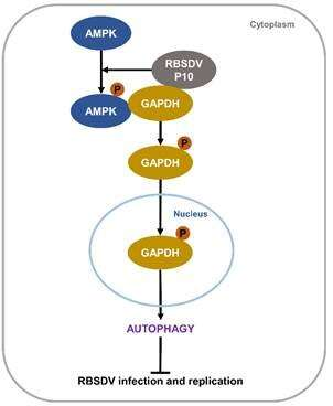 Scientists discover the molecular mechanism of RBSDV inducing cell autophagy in Laodelphax striatellus