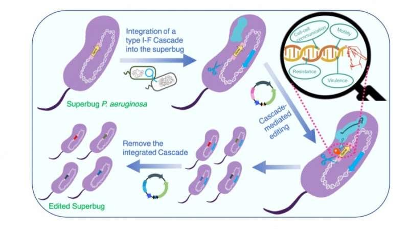 Scientists harness the naturally abundant CRISPR-cas system to edit superbugs