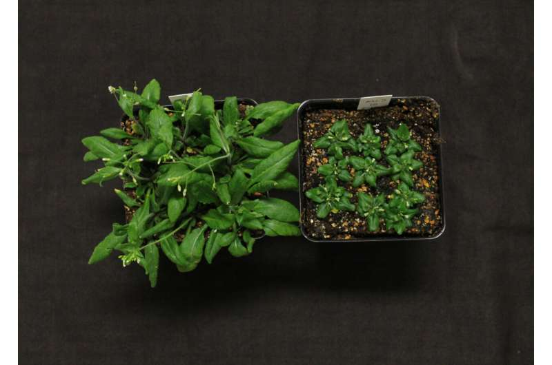 Los científicos identifican el esterol esencial para la acumulación de aceite en las plantas