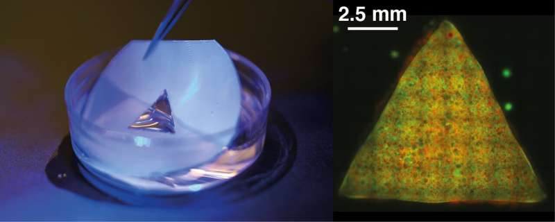Scientists pioneer creation of programmable artificial tissues from synthetic cells