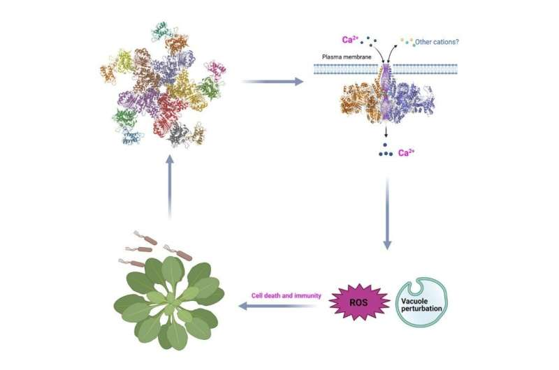 Los científicos descubren cómo las proteínas de resistencia protegen a las plantas de los patógenos