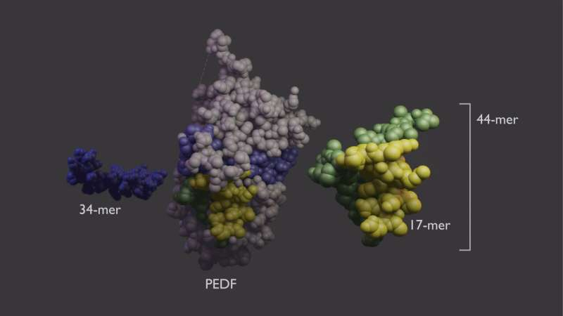 Scientists unravel the function of a sight-saving growth factor