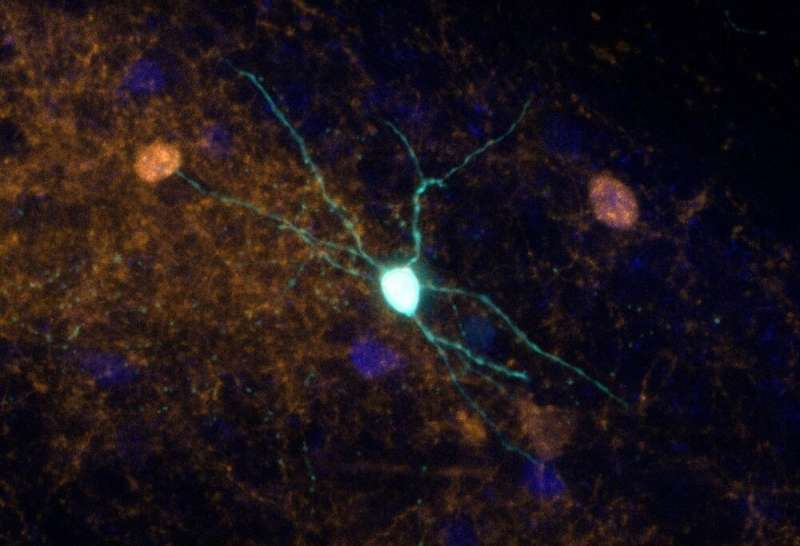 Scientists use genetic engineering to explore mechanisms involved in psychiatric disorders