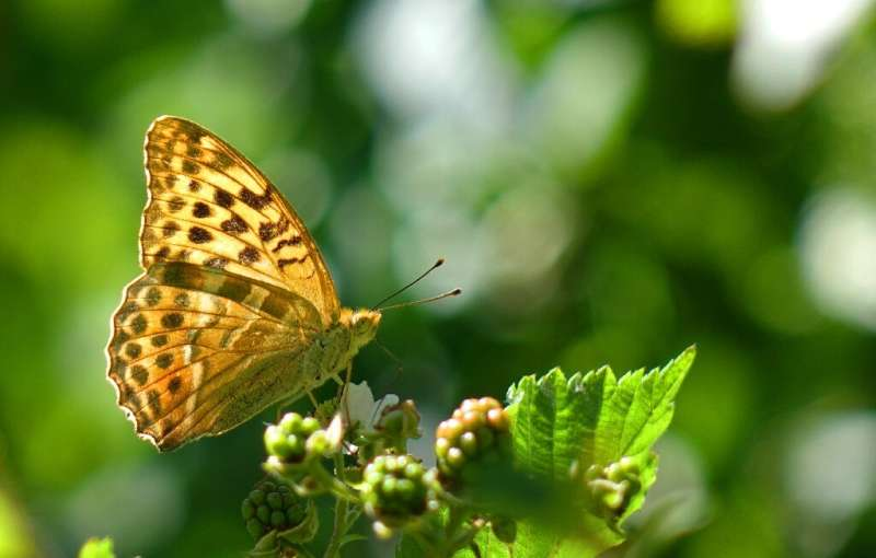 Scientists believe butterflies might use the 'clap' to help boost flight at takeoff when they are vulnerable to predators