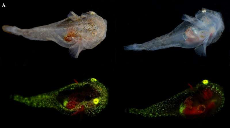 Scientists document first biofluorescent fish in the Arctic