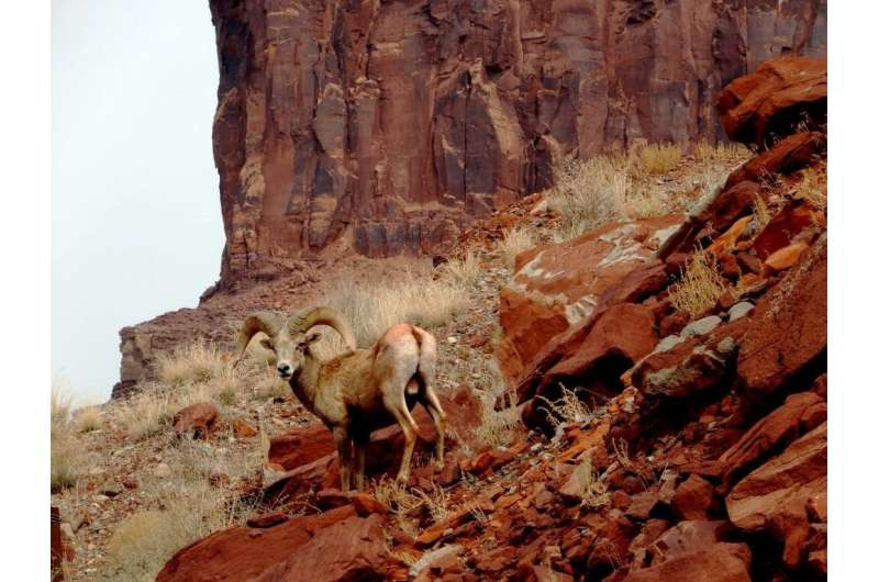 Scientists working with Navajo Nation tag nearly 100 bighorn sheep to diagnose disease, track movements