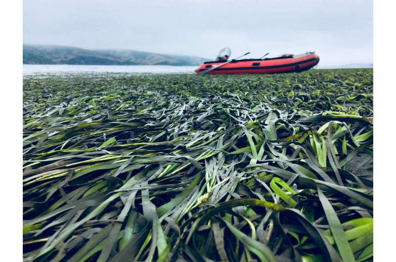 Seagrasses turn back the clock on ocean acidification
