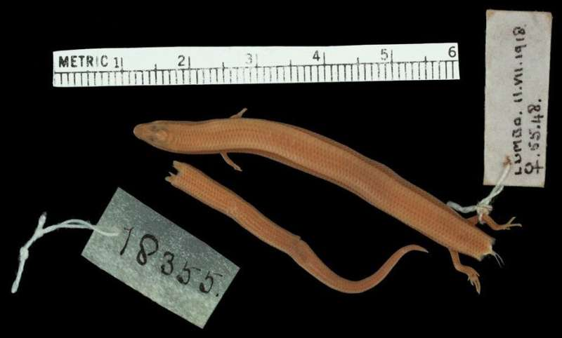 Search for elusive skinks is filling gaps in Mozambique's biodiversity data