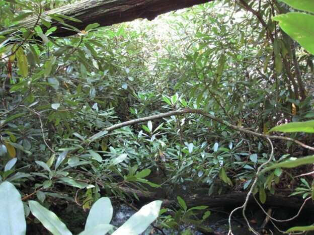 Seeing the forest for the shrubs in southern Appalachia