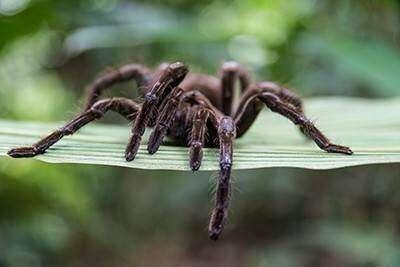 Seeking a treatment for IBS pain in tarantula venom