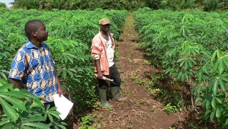 Buscando estrategias climáticamente inteligentes para cultivos de raíces, tubérculos y banano en África Central