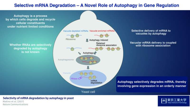 Selective mRNA degradation via autophagy: A novel role for autophagy in gene regulation