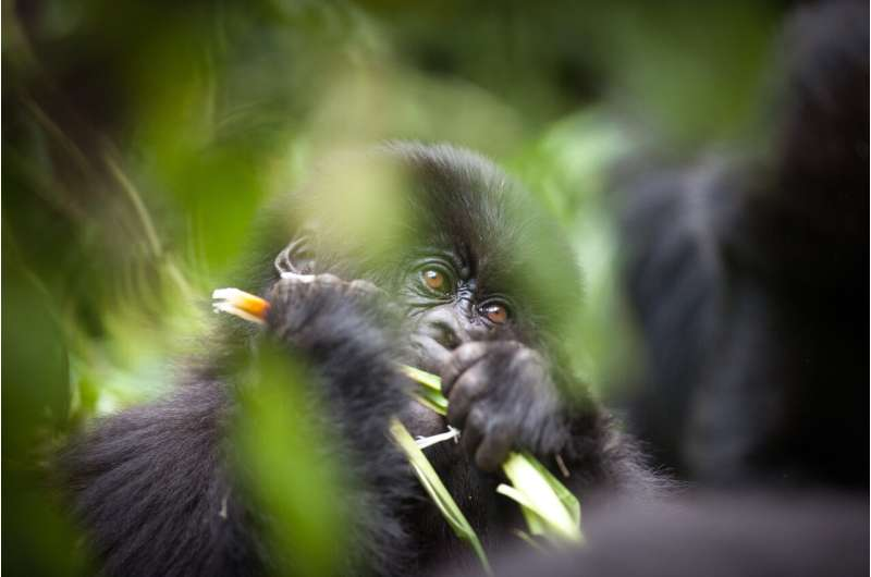 Selfies, gorillas and the risks of disease transmission
