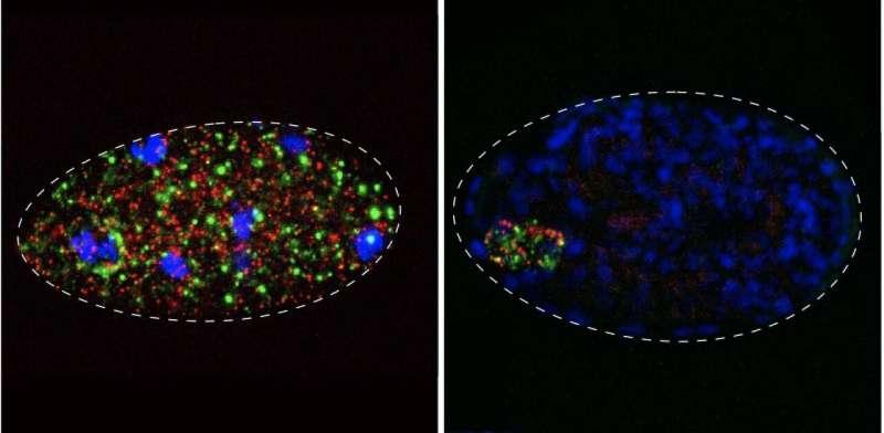 Selfish elements turn embryos into a battlefield