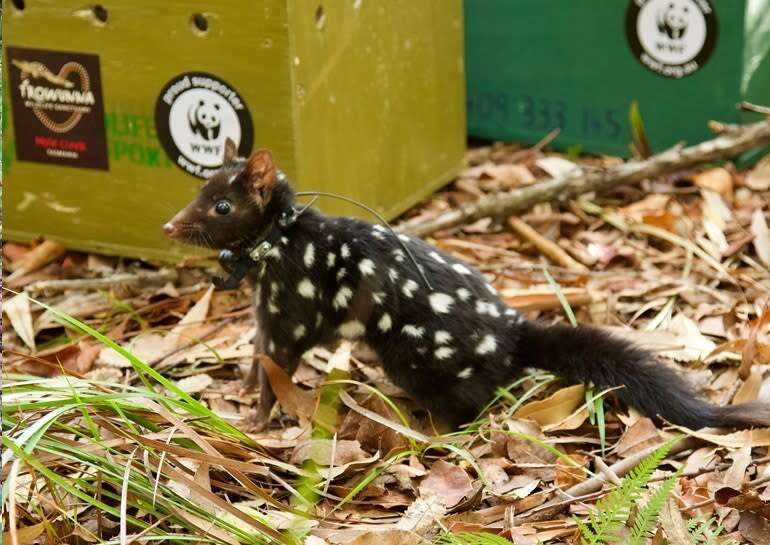 Sequenced quoll genome a new tool for conservation