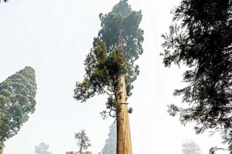 सिकोइया नेशनल पार्क का विशाल जंगल जंगल की आग से बेदाग