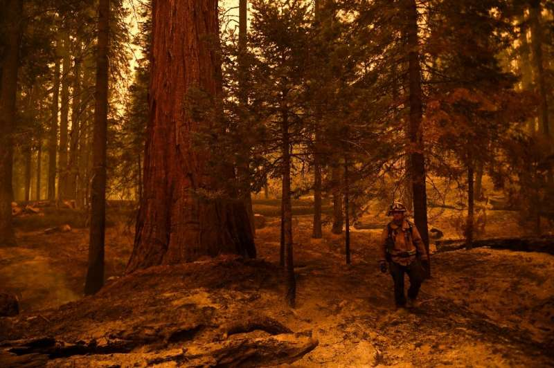Sequoias can survive - and even thrive - in low-level fires, using the heat to open their cones and spread their seeds, but can