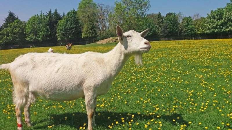 Ovejas contra cabras: ¿Quiénes son los mejores solucionadores de problemas?