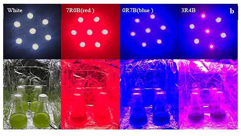 Shining, colored LED lighting on microalgae for next-generation biofuel