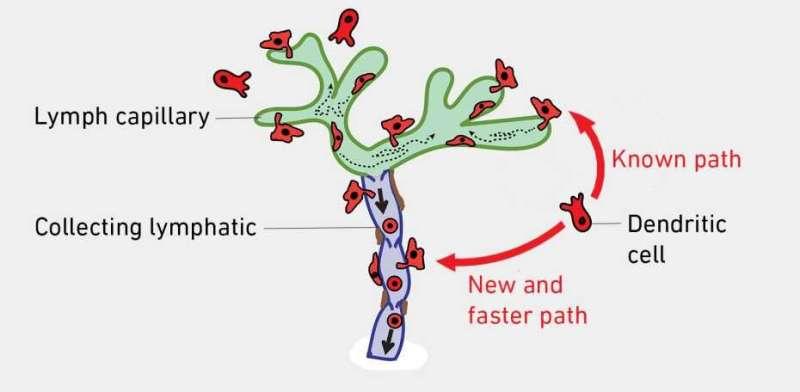 Shortcut for dendritic cells