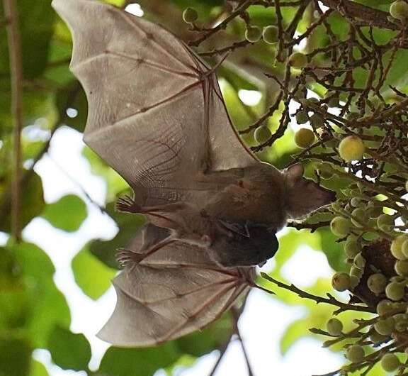 Sick bats also employ 'social distancing' which prevents the outbreak of epidemics
