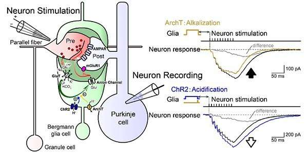 Signal coupling between neuron-glia super-network may lead to improved memory formation