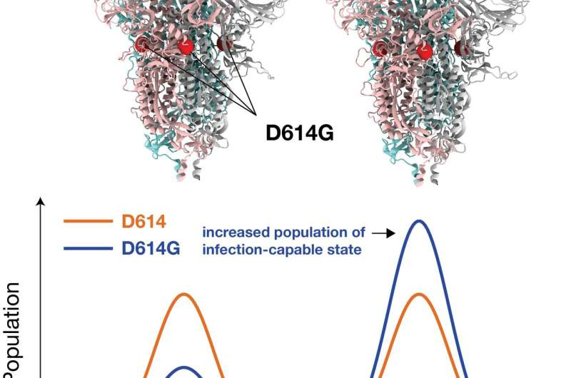 Simulations reveal how dominant SARS-CoV-2 strain binds to host, succumbs to antibodies
