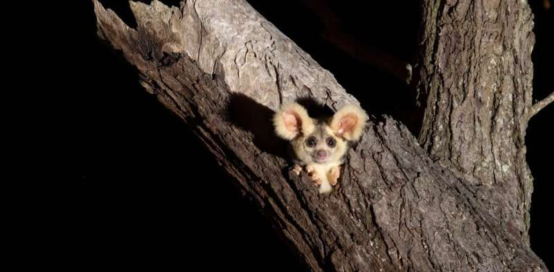 Since greater gliders were listed as 'vulnerable,' humans have destroyed more of their habitat