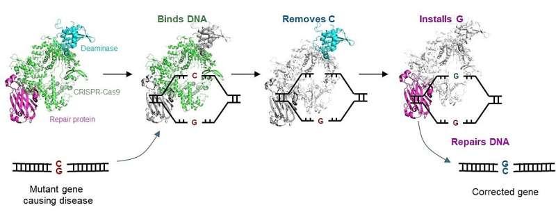 Singapore scientists develop novel gene editor to correct disease-causing mutations