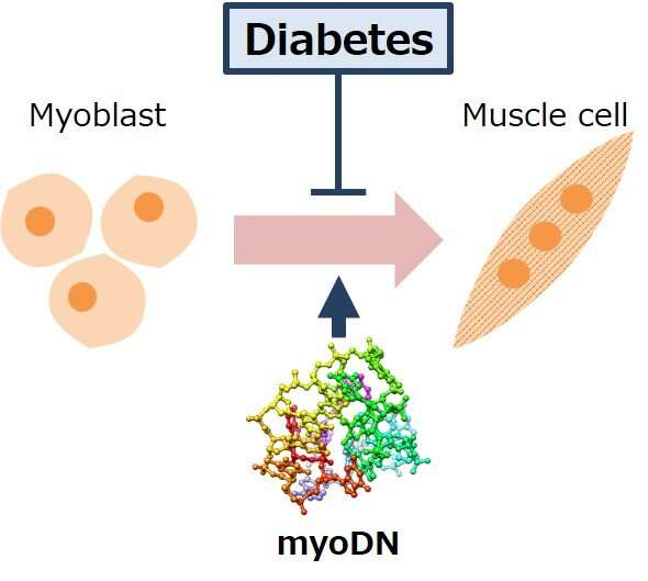 Skeletal muscle loss exacerbated by diabetes improved with oligo DNA