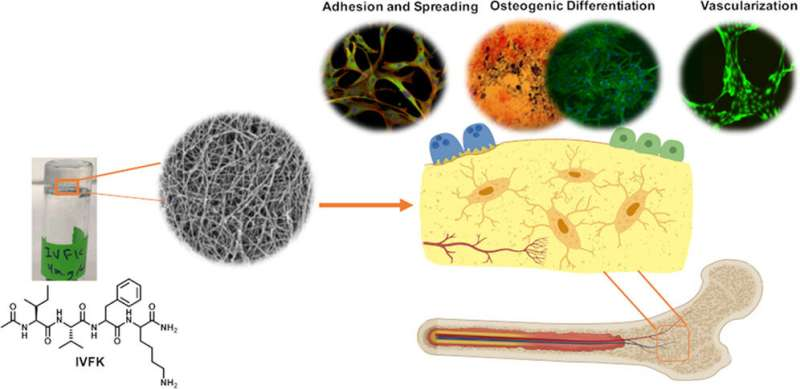 Skeletal scaffold supports bone cells and blood vessels
