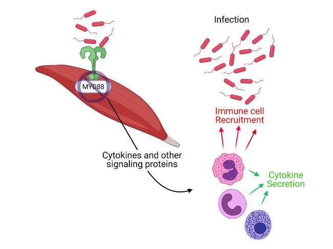 Skeletal muscles play a critical role in defense against septic infection