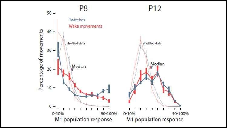 Sleep twitches facilitate motor cortex development in rats