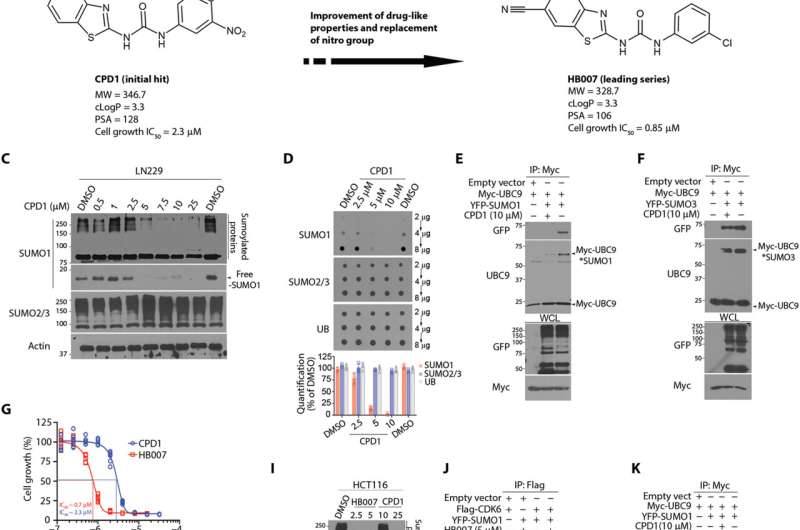 Small molecule compound developed that can degrade the cancer promoting protein SUMO1