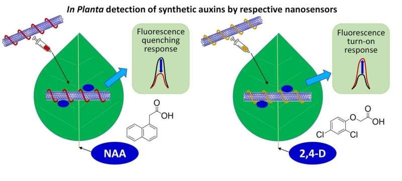 SMART Researchers Design Novel Sensors to Detect Plant Hormones